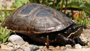 Beautiful types of turtles in ontario #typesofturtles #turtlesforpets