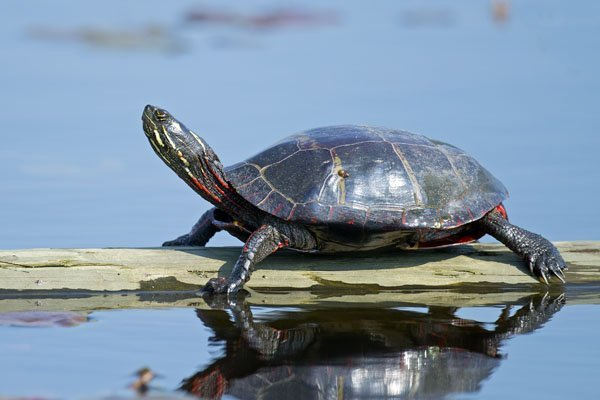 Wonderful types of turtles in india #typesofturtles #turtlesforpets